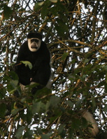 eastern black and white colobus (colobus guereza)
