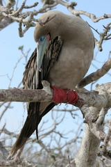Fou à pieds rouges Sula sula - Red-footed Booby (genovesa)