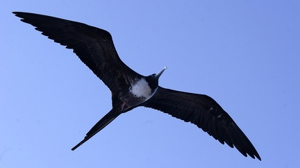 Frégate du Pacifique Fregata minor - Great Frigatebird (genovesa)