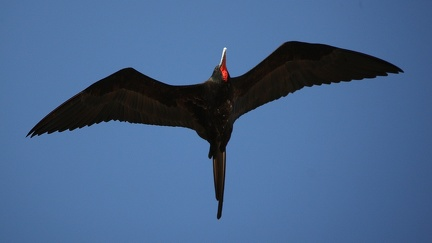 Frégate du Pacifique Fregata minor - Great Frigatebird
