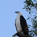 Pygargue blagre Haliaeetus leucogaster - White-bellied Sea Eagle
