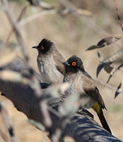 african red eyed bulbul (pycnonotus nigricans)