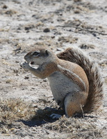 southern african ground squirrel (xenus inauris)