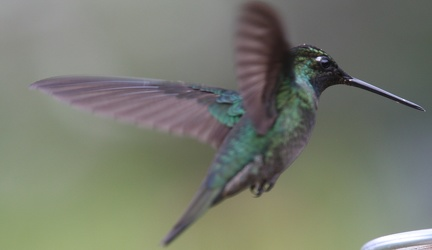 Colibri insigne - Panterpe insignis - Fiery-throated Hummingbird