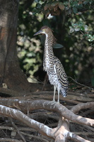 Onoré rayé Tigrisoma lineatum - Rufescent Tiger Heron