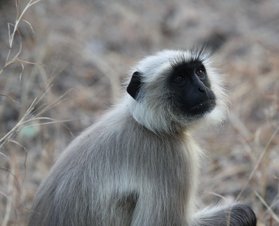 Semnopithecus entellus Entelle, Langur, Houleman
