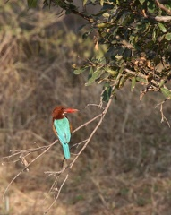 Martin-chasseur de Smyrne Halcyon smyrnensis - White-throated Kingfisher