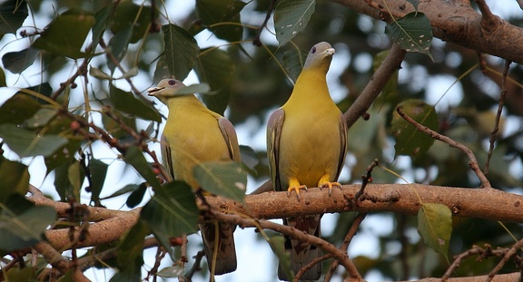 Colombar commandeur Treron phoenicopterus - Yellow-footed Green Pigeon