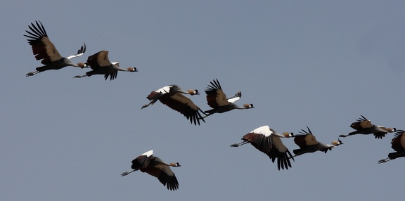 Grue royale Balearica regulorum - Grey Crowned Crane