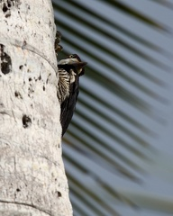 Pic ouentou Dryocopus lineatus - Lineated Woodpecker
