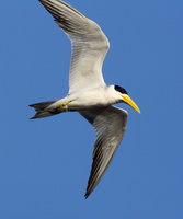 large billed tern