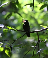 barbacou unicolore - black fronted numbird (monasa nigrifrons)