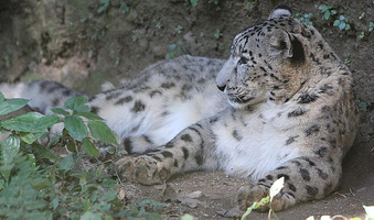 leopard des neiges (Panthera uncia)