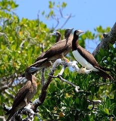 Fou brun Sula leucogaster - Brown Booby