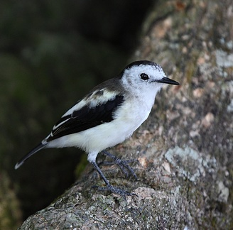 Moucherolle pie Fluvicola pica - Pied Water Tyrant