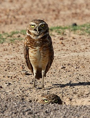 Chevêche des terriers Athene cunicularia - Burrowing Owl