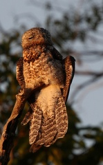 Grand Ibijau Nyctibius grandis - Great Potoo