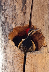 Pic ouentou Dryocopus lineatus - Lineated Woodpecker male