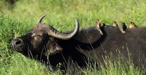 african buffalo (syncerus caffer) et Piqueboeuf à bec rouge
