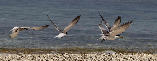 Sterne d'Orient Thalasseus bernsteini - Chinese Crested Tern