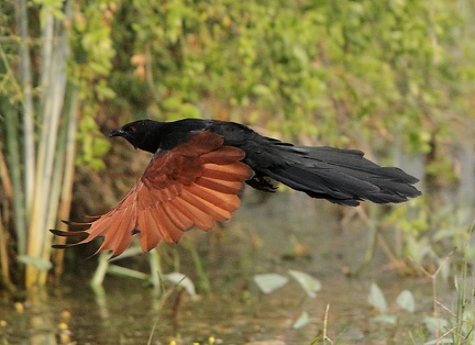 Grand Coucal Centropus sinensis - Greater Coucal