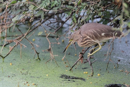 Crabier de Gray Ardeola grayii - Indian Pond Heron