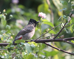 Bulbuls à ventre rouge (Pycnonotus cafer)