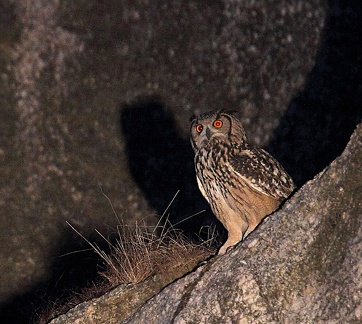 Grand-duc indien Bubo bengalensis - Indian Eagle-Owl