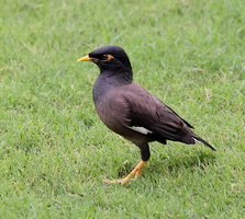 Mainate des Indes - (Common Myna - Acridotheres tristis)