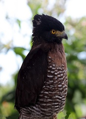 Serpentaire des Célèbes Spilornis rufipectus - Sulawesi Serpent Eagle