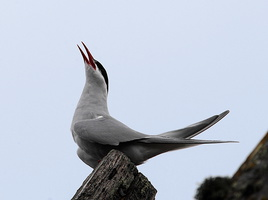 Sterne arctique Sterna paradisaea - Arctic Tern