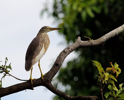 Crabier chinois Ardeola bacchus - Chinese Pond Heron