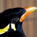 Mainate robuste Gracula robusta - Nias Hill Myna