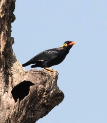 Mainate religieux Gracula religiosa - Common Hill Myna