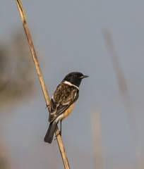 Tarier de Hodgson Saxicola insignis - White-throated Bush Chat