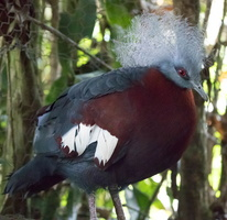 Goura couronné Goura cristata - Western Crowned Pigeon