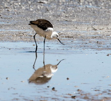 Avocette des Andes Recurvirostra andina - Andean Avocet