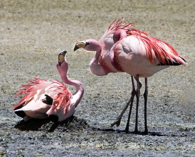 Flamant de James Phoenicoparrus jamesi - James's Flamingo - lutte autour d'un nid
