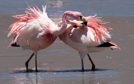 Flamant de James Phoenicoparrus jamesi - James's Flamingo - lutte