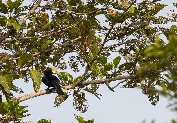 Calao charbonnier Anthracoceros malayanus - Black Hornbill