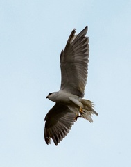 Élanion blanc Elanus caeruleus - Black-winged Kite