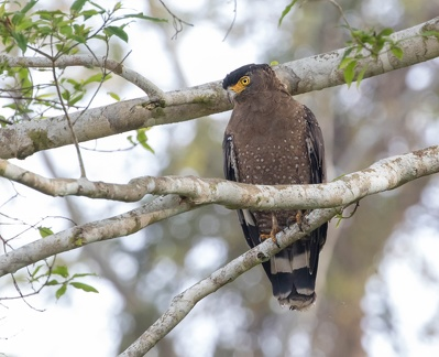 Serpentaire bacha Spilornis cheela - Crested Serpent Eagle