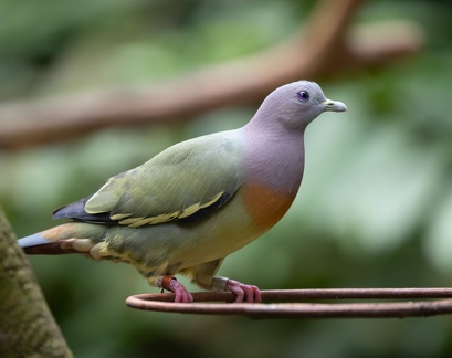 Colombar giouanne Treron vernans - Pink-necked Green Pigeon