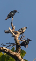 Stourne chanteur Aplonis cantoroides - Singing Starling