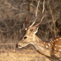 cerf axis - chital
