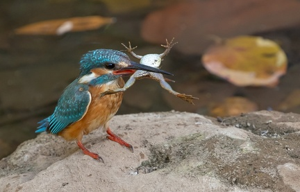 Martin-pêcheur d'Europe Alcedo atthis - Common Kingfisher