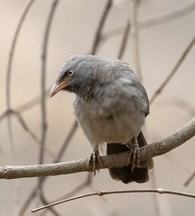 Cratérope de brousse Argya striata - Jungle Babbler