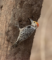 Pic mahratte Leiopicus mahrattensis - Yellow-crowned Woodpecker