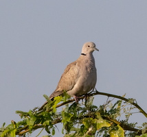 Tourterelle turque Streptopelia decaocto - Eurasian Collared Dove