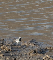 Bergeronnette grise Motacilla alba - White Wagtail